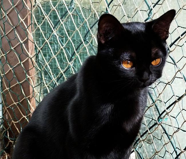 augen auf beim kauf bombay cats und bombay katzen. Black Bedroom Furniture Sets. Home Design Ideas